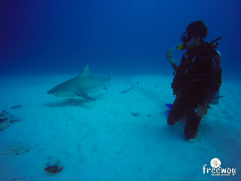 Bull shark diving