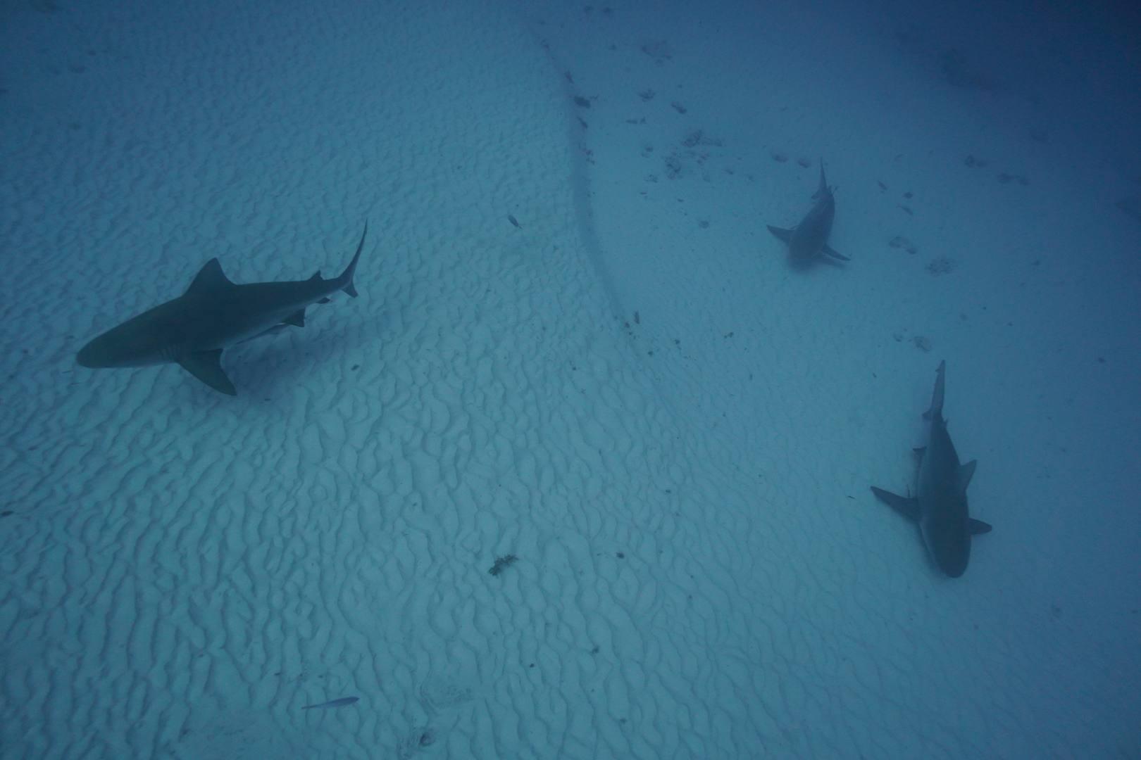 Bull shark encounter